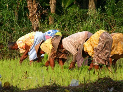 Traditional farmers planting the rice field