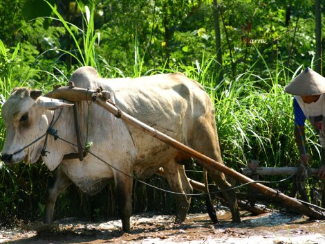 Traditional farmer with his cow.